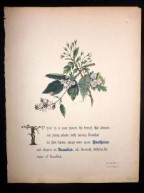 Giraud Flowers of Shakespeare 1846 HC. Hawthorns & Brambles. As you like it